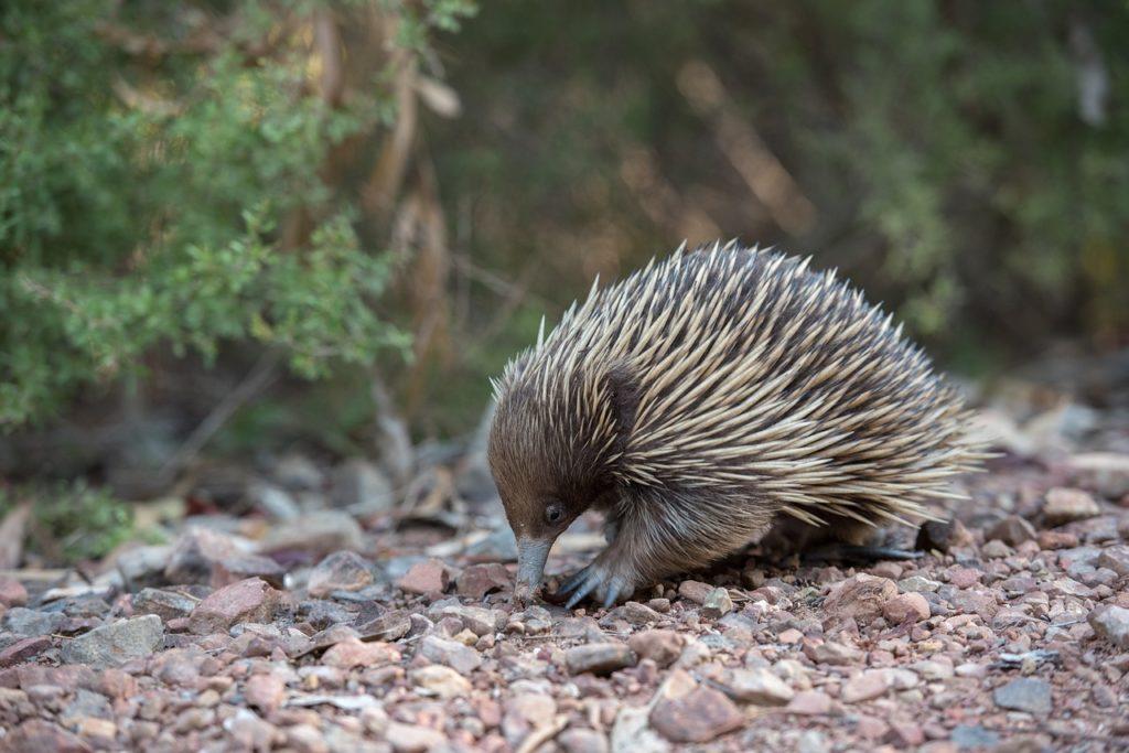 Animais como equidna são únicos da Austrália