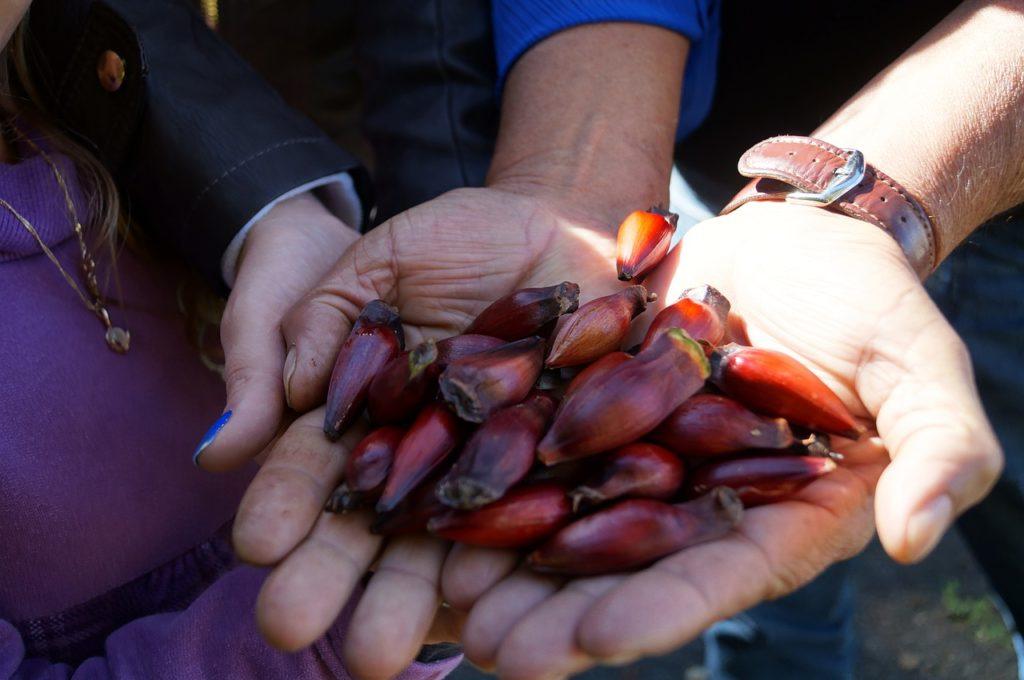 Pinhão é uma das comidas típicas da Serra Catarinense