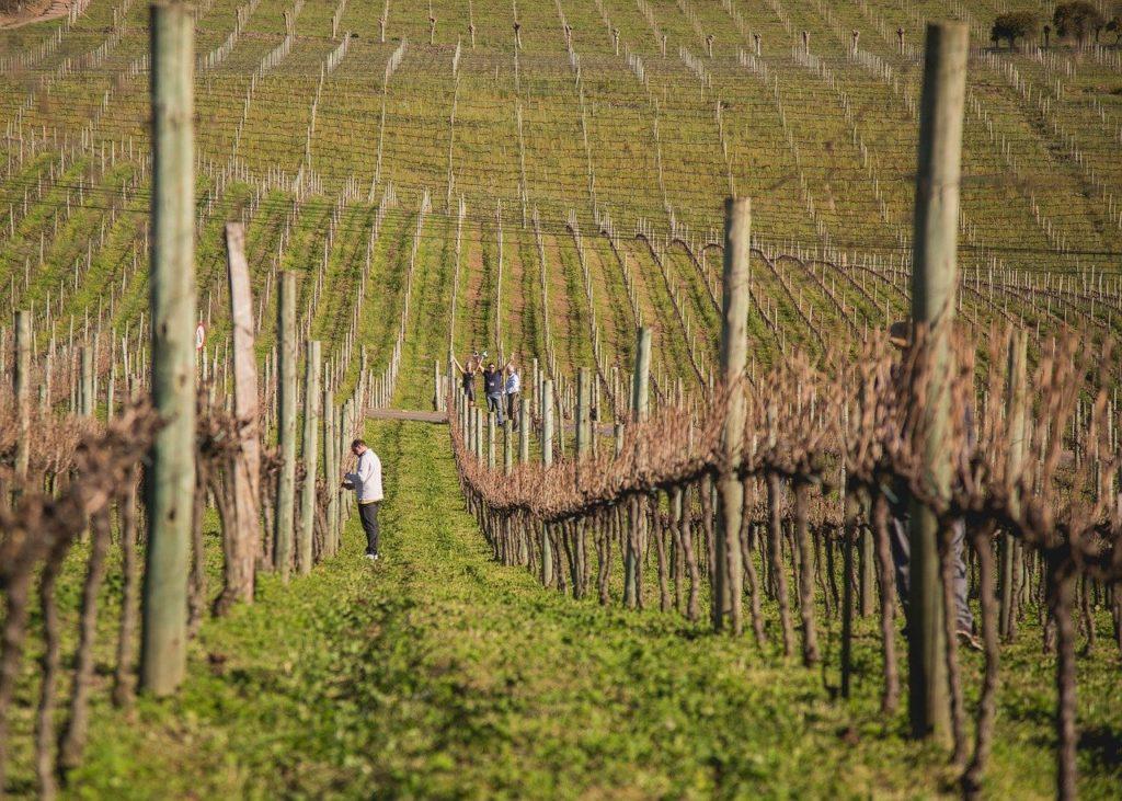 Curtir os vinhedos e degustar vinhos estão entre os atrativos da cidade gaúcha