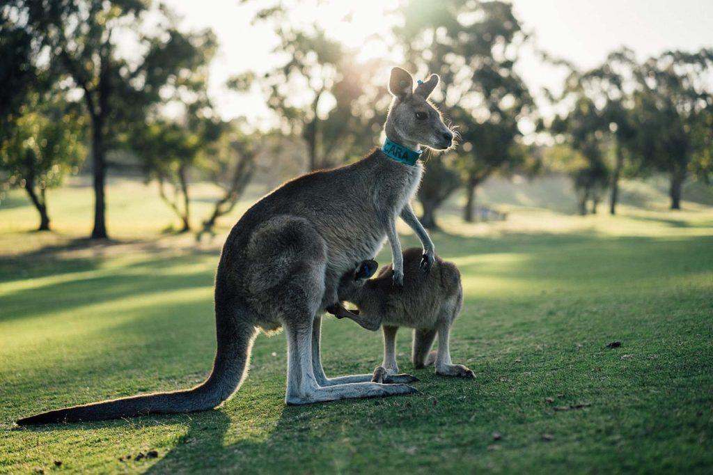 Visitar um parque para ver de perto os cangurus é garantir aos amigos que esteve mesmo na Austrália