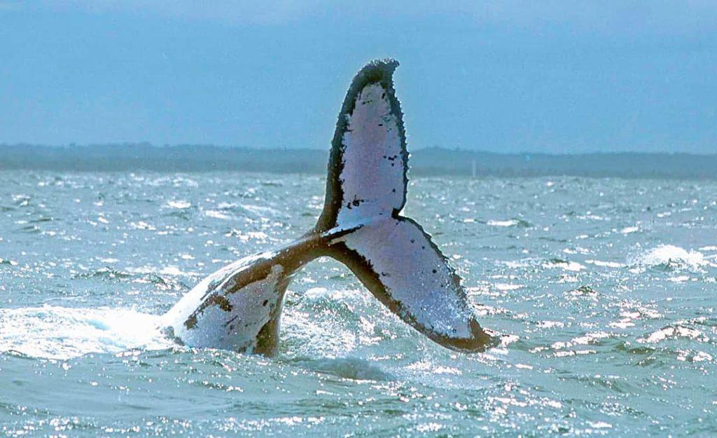 Onde é possível observar baleias no Brasil?  Em diferentes pontos da costa de águas quentes