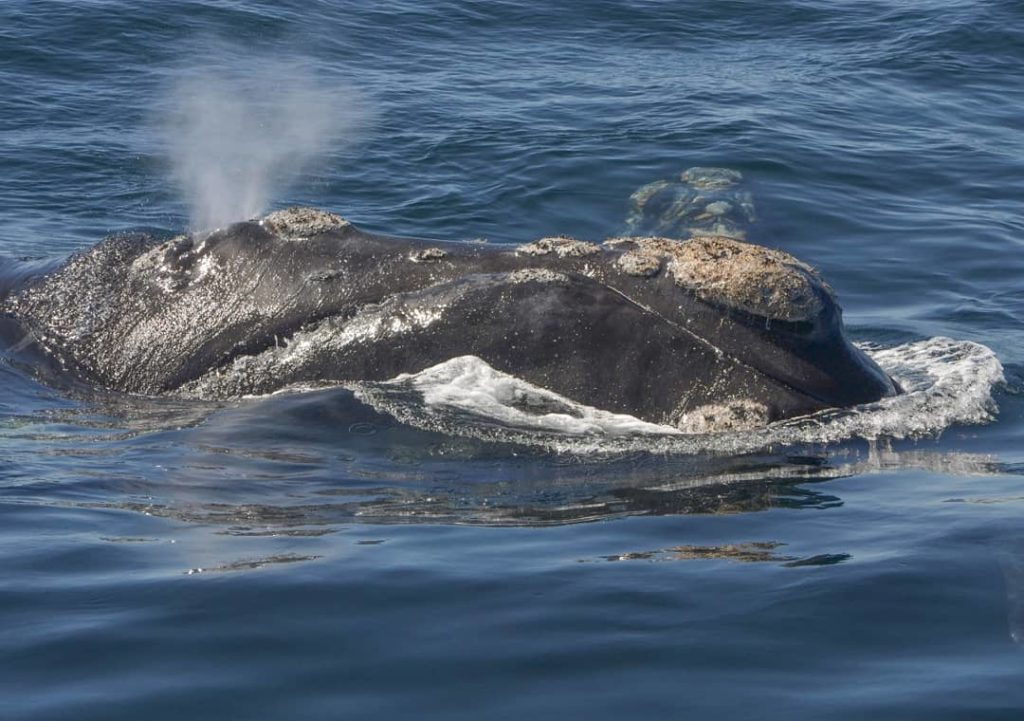 Onde é possível observar baleias no Brasil? No Sul de Santa Catarina entre julho e novembro