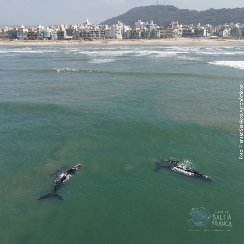 Onde é possível observar baleias no Brasil? As franca estão por Santa Catarina