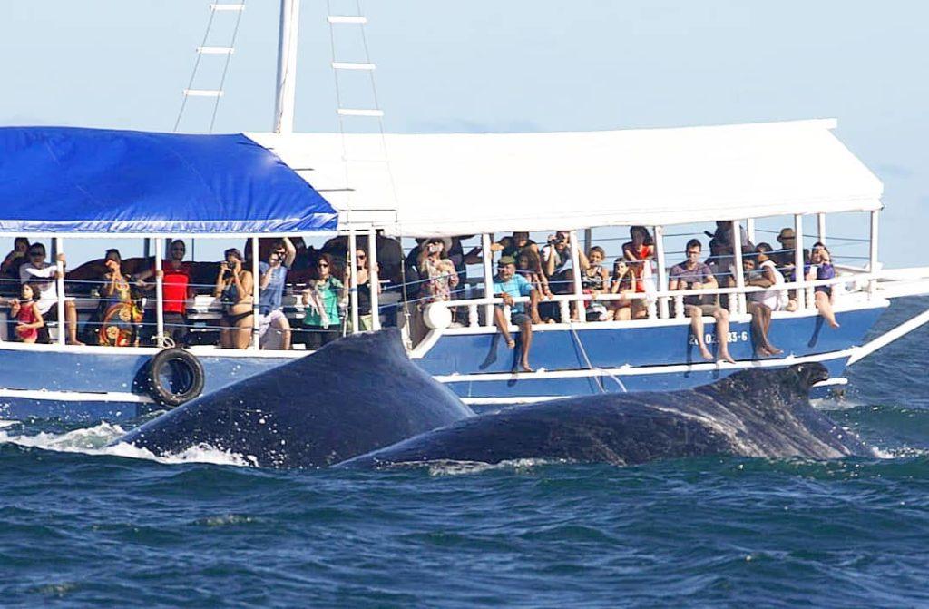 Nas águas quentes da costa brasileira as baleias jubarte e franca aproveitam para se reproduzir