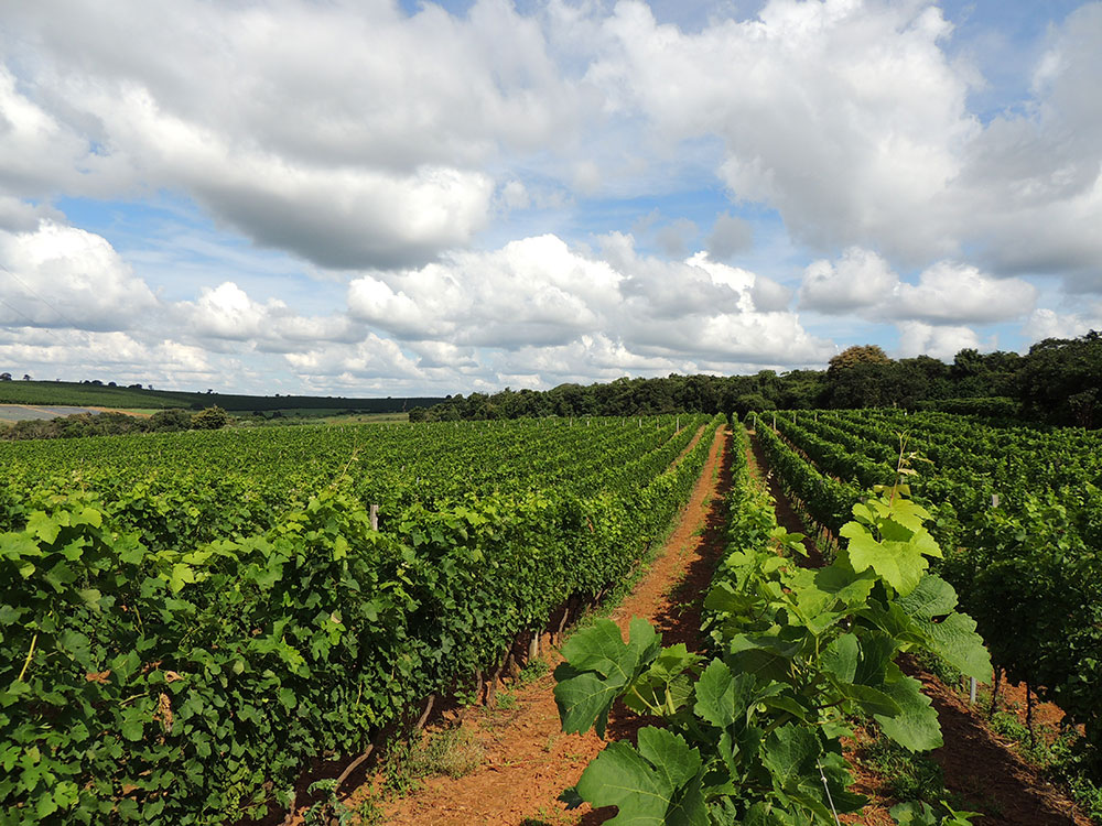 No Sul de Minas Gerais há condições geográficas e climáticas para colocar o estado entre as melhores vinícolas do Brasil