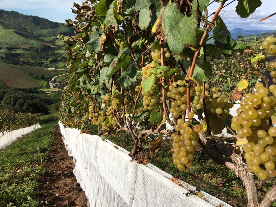 A visita nas vinícolas leva ao dia a dia do campo