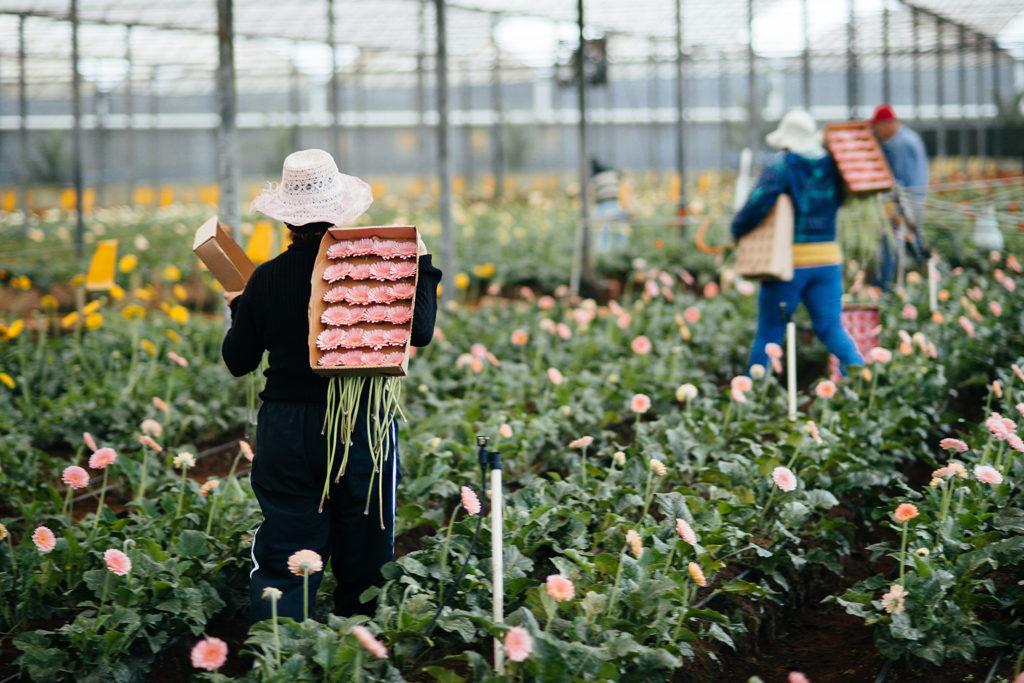 A cidade responde por 50% de toda a produção de flores do Brasil
