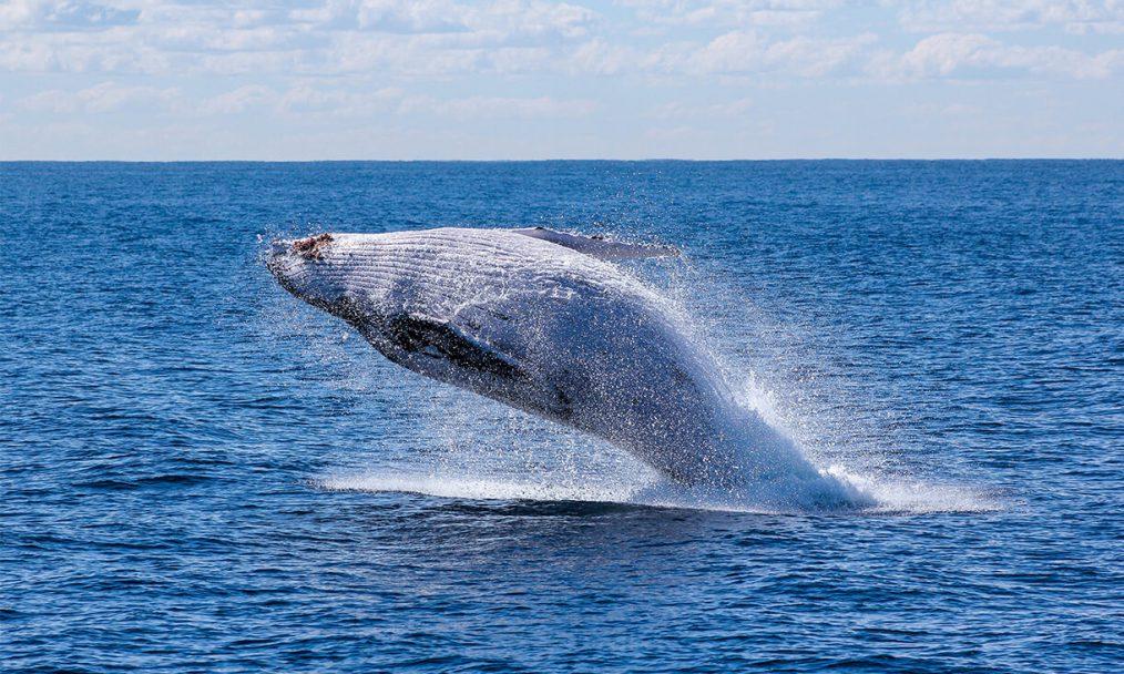 Avistar baleias está na lista sobre o que fazer em Jervis Bay na Austrália